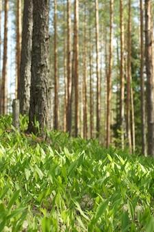 Duża polana w lesie z kwitnącymi konwaliami