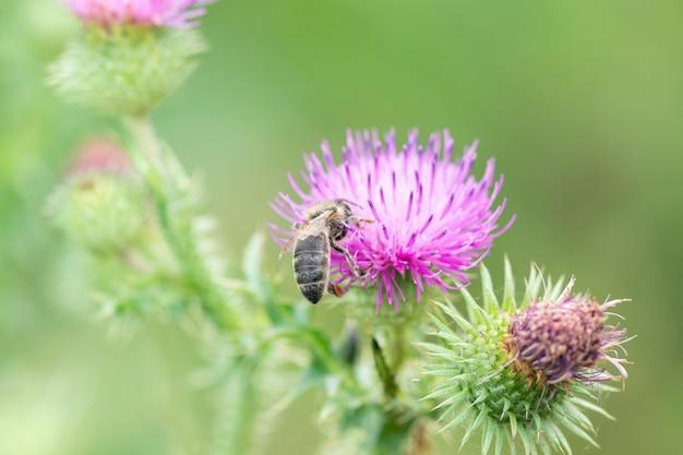 Duża pszczoła siedzi na kwiat ostu