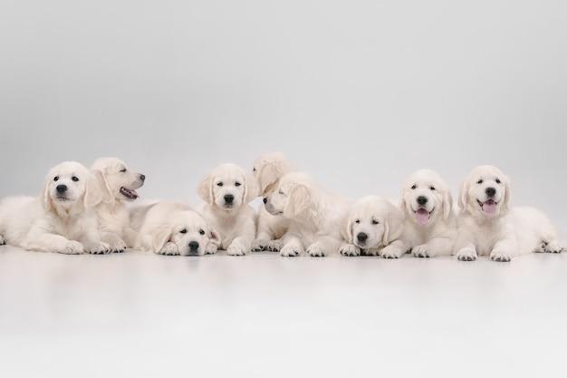 Duża rodzina. pozowanie angielskie kremowe golden retrievery. śliczne zabawne pieski lub rasowe zwierzaki wyglądają uroczo na białym tle na białej ścianie. pojęcie miłości ruchu, akcji, ruchu, psów i zwierząt domowych. miejsce.