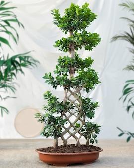 Duża roślina bonsai ficus
