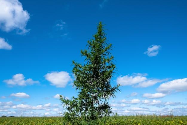 Duża roślina konopi i pole na tle błękitnego nieba letniego drzewa marihuany