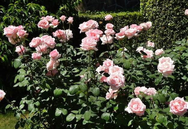 Duża róża bush w południe w letni dzień