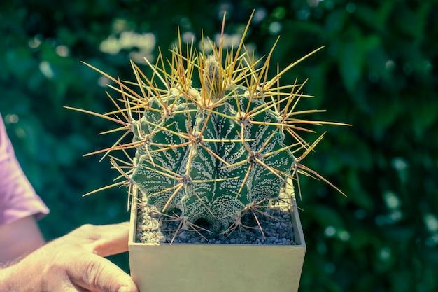 Duża rzadka piłka w kształcie kaktusa, z długimi igłami z bliska na zielono