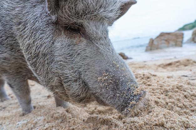 Duża świnia na piaszczystej plaży na wyspie koh phangan, tajlandia. ścieśniać