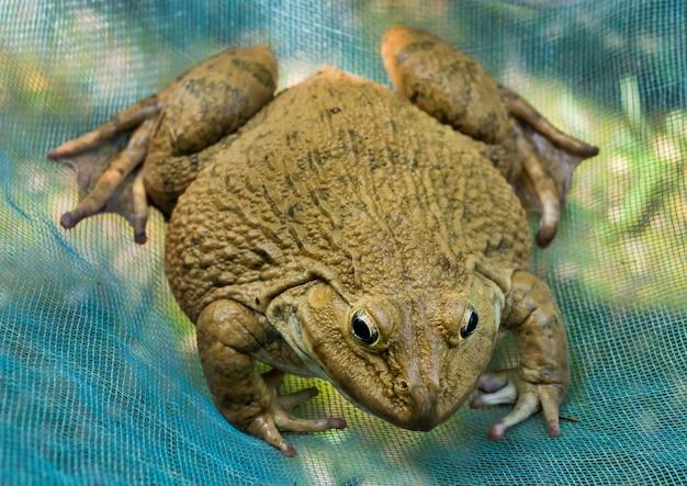 Duża żaba na błękit sieci natury tle.