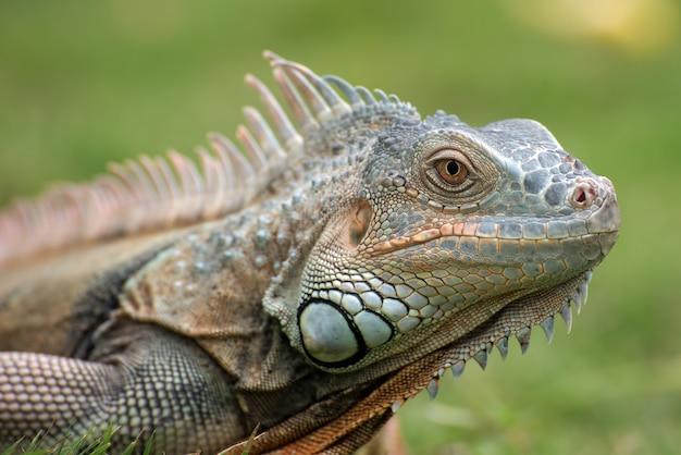 Duża zielona iguana na trawie