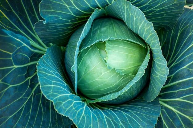 Duża zielona kapusta w gospodarstwie. tło wegetariańskie.