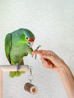 Duża zielona papuga daje łapę. rehabilitacja ptaków, tresura papug. widok pionowy.