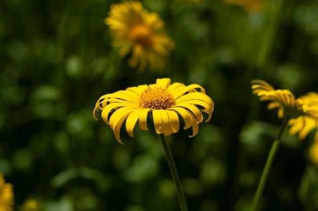 Duża żółta stokrotka w ogrodzie wśród zieleni