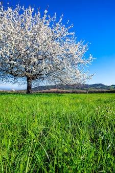 Duże białe kwitnące drzewo na wiosnę.