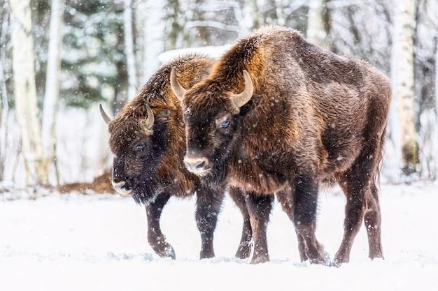 Duże brązowe żubry grupa żubrów w pobliżu zimowego lasu ze śniegiem. stado żubra żubra, bison bonasus. siedlisko przyrody. selektywne skupienie.