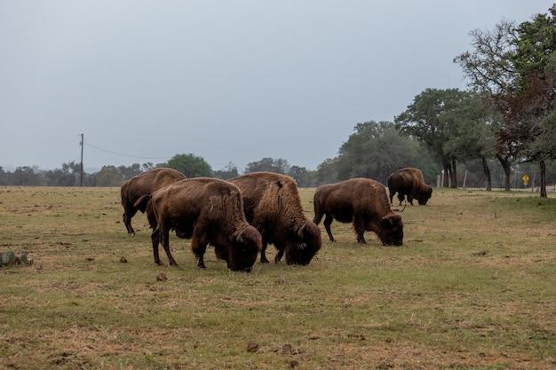 Duże brązowe żubry pasą się na trawie