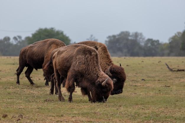 Duże brązowe żubry pasące się na trawie