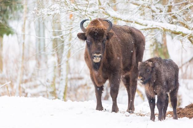 Duże brązowe żubry wisent rodziny w pobliżu zimowego lasu ze śniegiem.