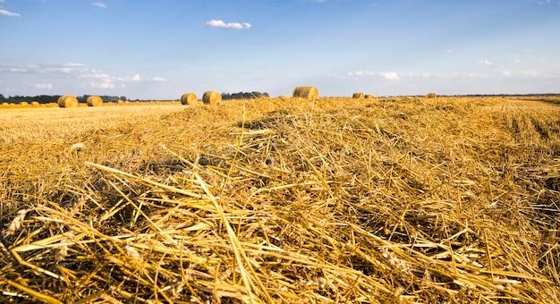 Duże cylindryczne stosy słomy pszennej