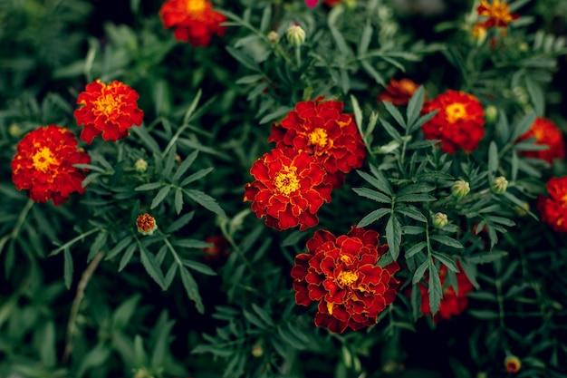 Duże czerwone kwiaty nagietka w ogrodzie