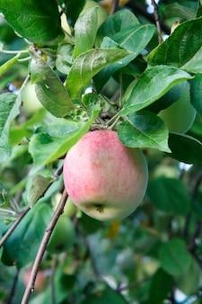 Duże dojrzałe jabłko na gałęzi drzewa w sadzie. mała głębia ostrości, selektywne skupienie się na jabłku