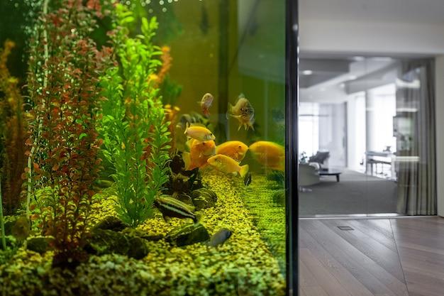 Duże domowe akwarium z pielęgnicami w stylowym wnętrzu