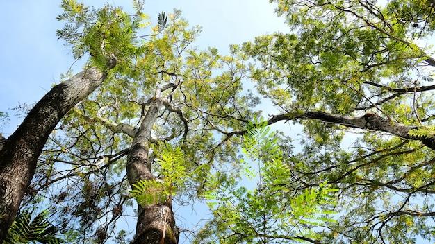 Duże drzewa nad jasne błękitne niebo