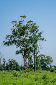 Duże drzewo eukaliptusowe w opuszczonym miejscu, krajobraz