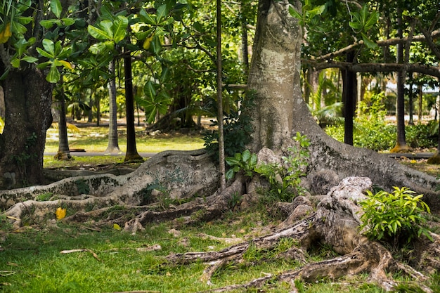 Duże drzewo figowe w ogrodzie botanicznym pamplemousses, mauritius.