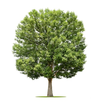 Duże drzewo izolować na białym tle