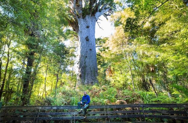 Duże drzewo kauri na wyspie północnej nowej zelandii
