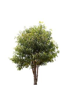 Duże drzewo na białym tle