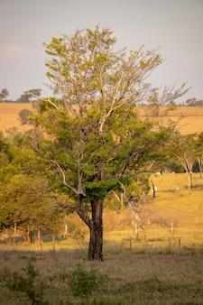 Duże drzewo okrytozalążkowe na pastwisku w gospodarstwie