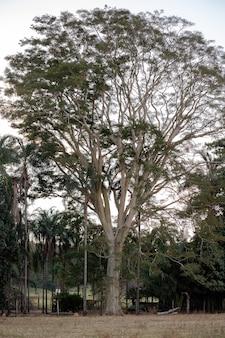 Duże drzewo okrytozalążkowe z gatunku albizia niopoides