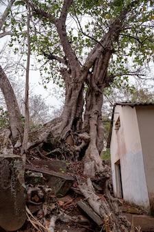Duże dwuliścienne drzewo okrytozalążkowe z rodzaju ficus rosnące wśród skał