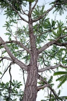 Duże dwuliścienne drzewo okrytozalążkowe z wydatnymi, teksturowanymi pniami i kilkoma zielonymi liśćmi