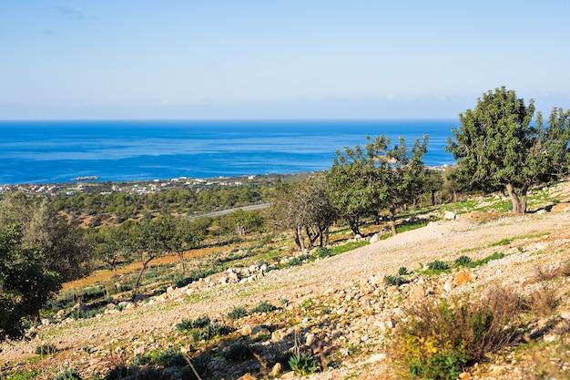 Duże i stare starożytne drzewo oliwne w ogrodzie oliwnym na morzu śródziemnym.