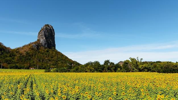 Duże, jaskrawożółte pola słoneczników na tle wysokich gór i bezchmurnego nieba.