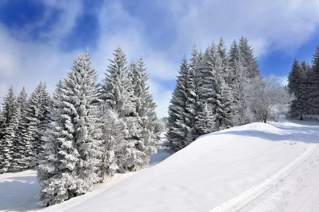 Duże jodły w ośnieżonych górach na zboczu