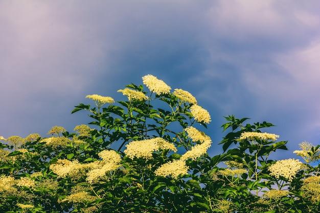 Duże kwitnące drzewo czarnego bzu na tle błękitnego nieba