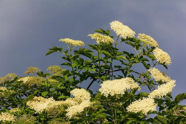 Duże kwitnące drzewo czarnego bzu na tle zachmurzonego nieba