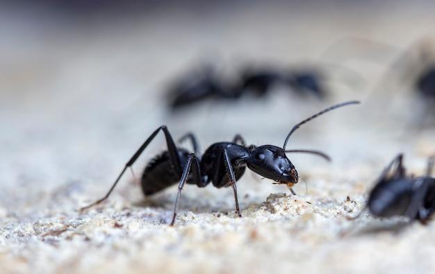 Duże leśne mrówki na starym drewnie