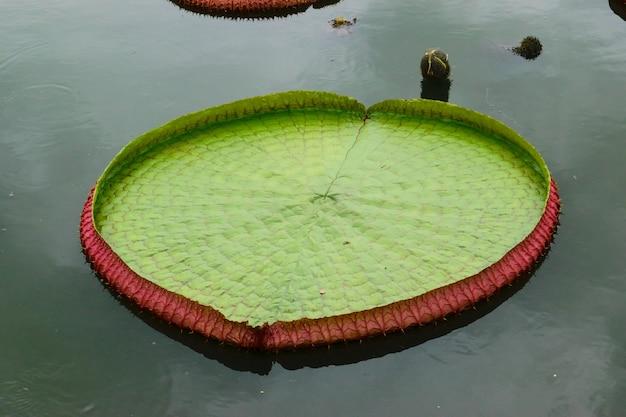 Duże liście lotosu na białym tle.