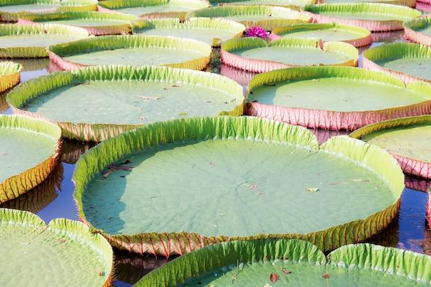Duże liście lotosu w stawie ze światłem słonecznym.