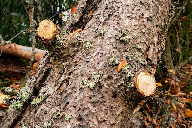 Duże mokre zwalone drzewo w pięknym wielobarwnym gęstym lesie wśród opadłych kolorowych liści