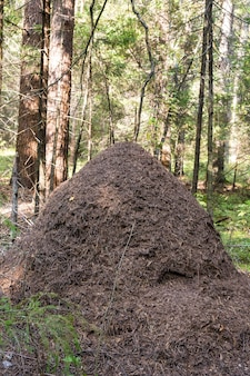 Duże mrowisko na leśnej polanie czerwona mrówka drewna