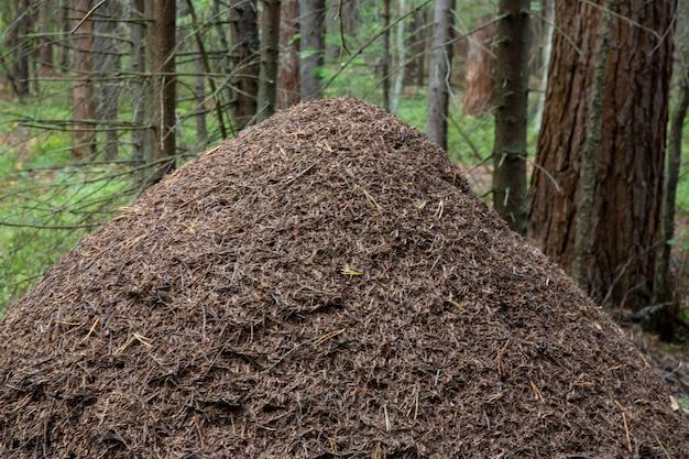 Duże mrowisko w lesie. ogromny dom mrówek w jesiennym lesie