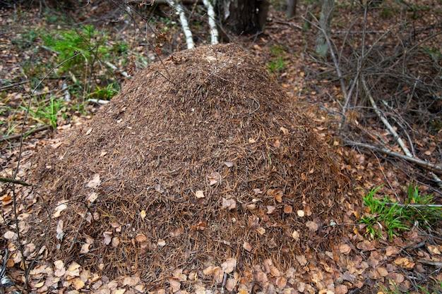 Duże mrowisko w lesie to dom i mieszkanie dla mrówek i jesiennych liści