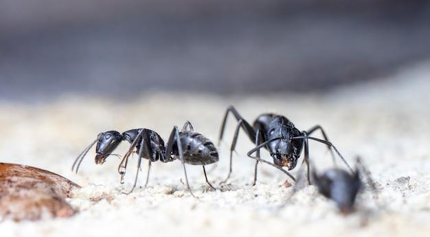 Duże mrówki leśne w ich rodzimym środowisku