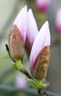 Duże pąki kwiatowe drzewa magnolii (na powierzchni drzewa kwiatowego)