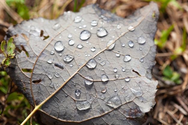 Duże piękne krople przezroczystej wody deszczowej na makro zielony liść. krople rosy o poranku świecą w słońcu. piękna tekstura liści w przyrodzie. naturalne tło