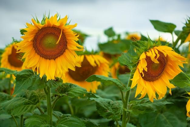 Duże piękne słoneczniki naturalne tło. kwitnący słonecznik.