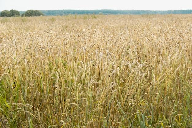 Duże pole dojrzałej pszenicy lub żyta. nadchodzą żniwa. ziarno dojrzałe.