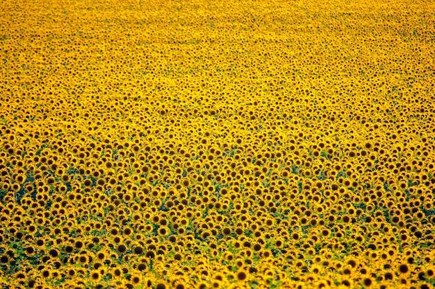 Duże pole kwitnących słoneczników w słońcu. agronomia, rolnictwo i botanika.